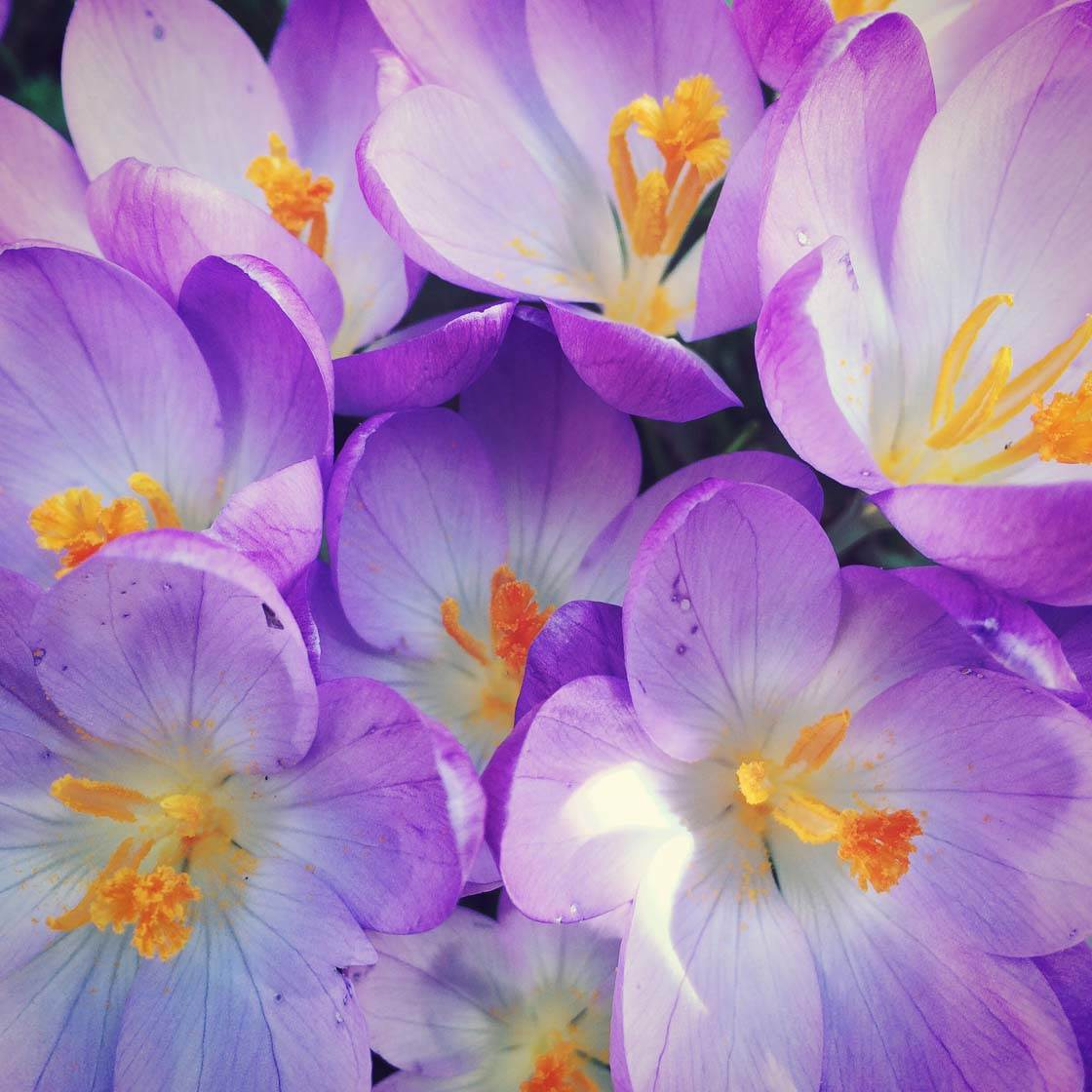 iPhone Flower Photography 4 no script