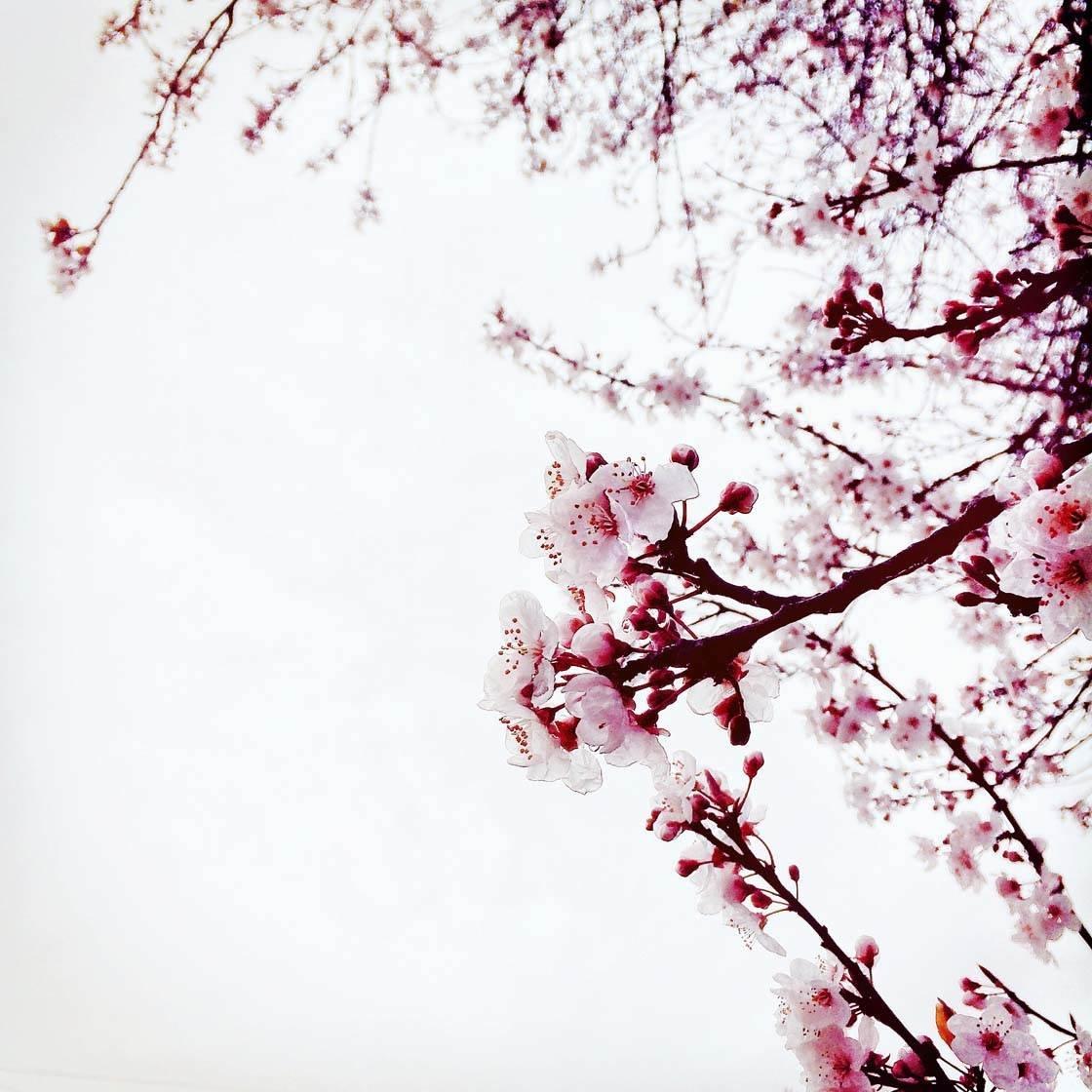 iPhone Flower Photography 8 no script