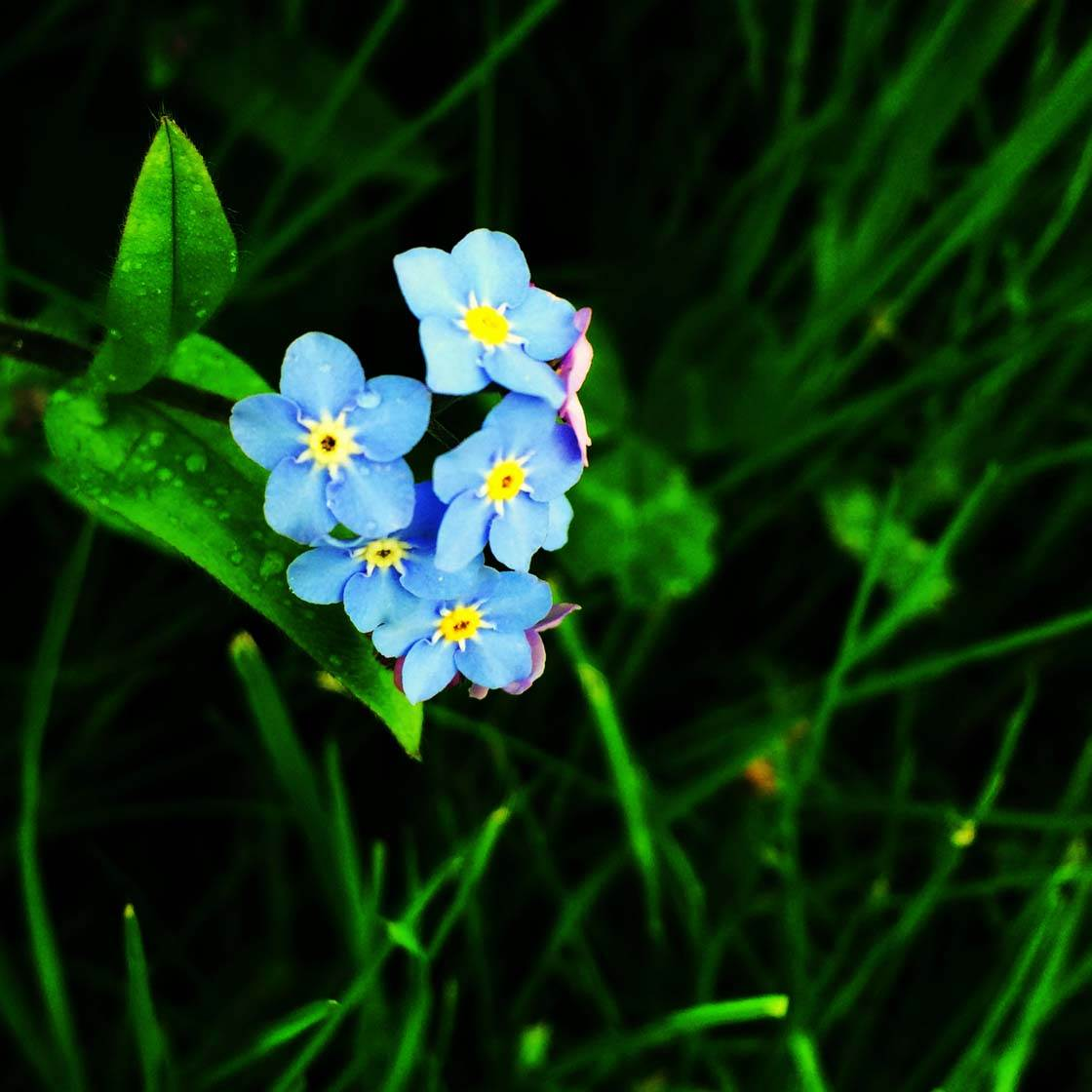 iPhone Flower Photography 7 no script