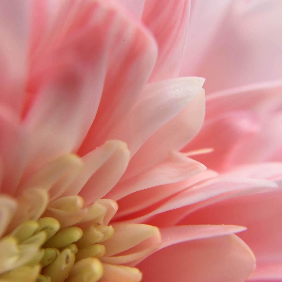 iPhone Flower Photography 17 no script