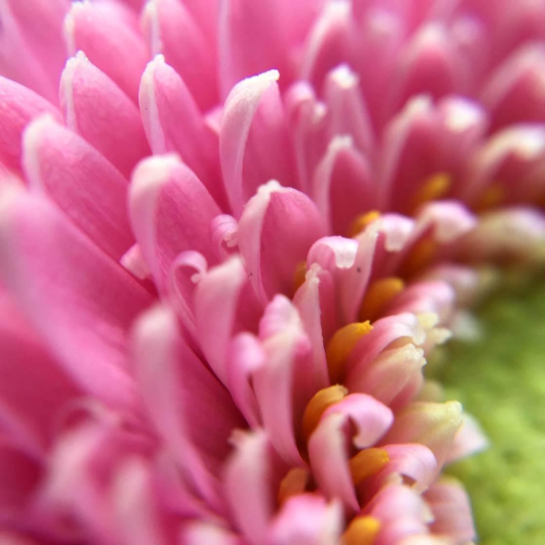 iPhone Flower Photography 16 no script