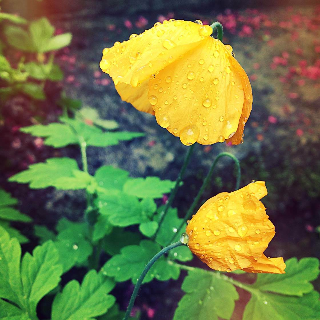 iPhone Flower Photography 20 no script