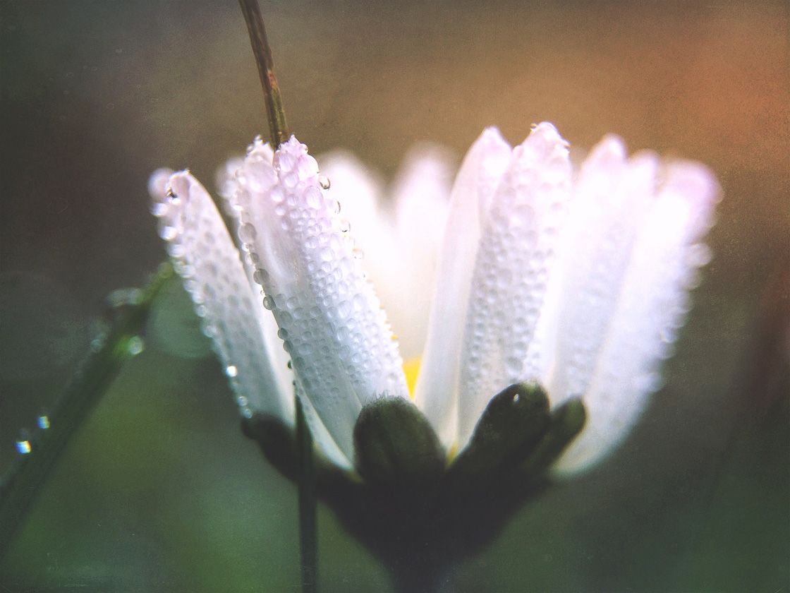 11 Tips For Beautiful Flower Photography On Iphone