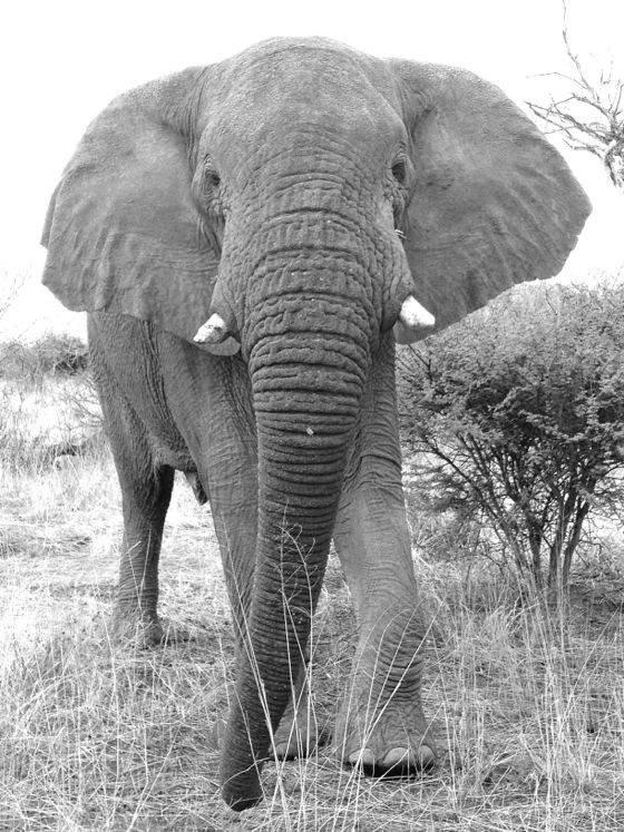 Elephant no script
