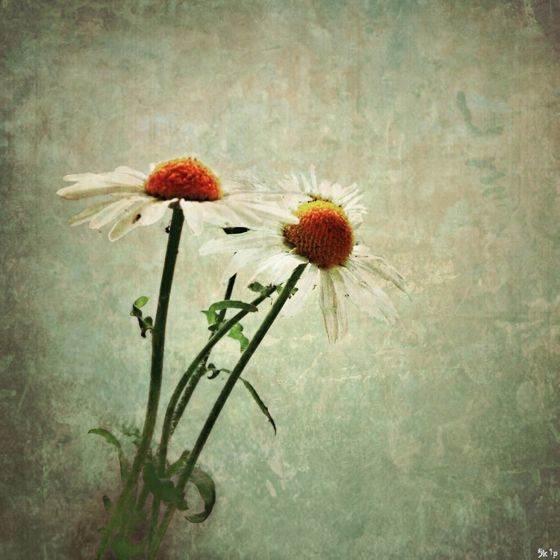 Skip-daisies no script